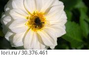 Купить «Bumblebee on dahlia flower», видеоролик № 30376461, снято 3 марта 2019 г. (c) Игорь Жоров / Фотобанк Лори