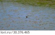 Купить «Dragonfly lays eggs», видеоролик № 30376465, снято 9 марта 2019 г. (c) Игорь Жоров / Фотобанк Лори