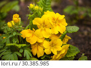 Yellow primula. Стоковое фото, фотограф Юлия Бабкина / Фотобанк Лори
