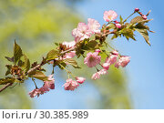 Купить «Cherry blossom or sakura», фото № 30385989, снято 11 мая 2015 г. (c) Юлия Бабкина / Фотобанк Лори
