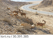 Купить «Nubian ibex (Capra nubiana sinaitica) near road to Sde Boker. Negev desert of southern Israel», фото № 30391385, снято 4 августа 2018 г. (c) Валерия Попова / Фотобанк Лори