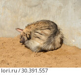 Купить «Sweet Dreams. Striped hyena (Hyaena hyaena) sleeps», фото № 30391557, снято 25 марта 2019 г. (c) Валерия Попова / Фотобанк Лори