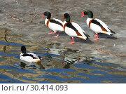 Common shelduck (Tadorna tadorna). Birds on shore of pond. Стоковое фото, фотограф Валерия Попова / Фотобанк Лори