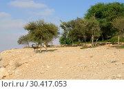 Купить «Negev desert of southern Israel. Green Garden in Sde Boker. Animals (Nubian ibex (Capra nubiana sinaitica)) eat grass and foliage», фото № 30417053, снято 4 августа 2018 г. (c) Валерия Попова / Фотобанк Лори