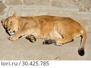 Купить «Sweet Dreams. Funny Asian lioness (Pantera leo persica) sleeps», фото № 30425785, снято 25 марта 2019 г. (c) Валерия Попова / Фотобанк Лори