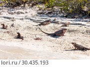 Купить «exuma island iguanas in the bahamas», фото № 30435193, снято 14 февраля 2013 г. (c) Syda Productions / Фотобанк Лори