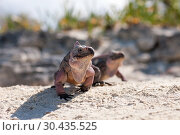 Купить «two exuma island iguanas in the bahamas», фото № 30435525, снято 14 февраля 2013 г. (c) Syda Productions / Фотобанк Лори
