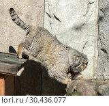 Купить «Funny Manul cat (Felis cat)», фото № 30436077, снято 25 марта 2019 г. (c) Валерия Попова / Фотобанк Лори