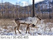 Купить «Тофаларский олень на фоне горно-таёжного пастбища», фото № 30450405, снято 23 февраля 2019 г. (c) Виктор Никитин / Фотобанк Лори