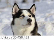 Купить «Портрет собаки породы сибирский хаски зимой», фото № 30450453, снято 23 февраля 2019 г. (c) Григорий Писоцкий / Фотобанк Лори