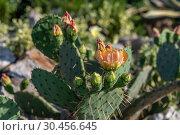 Купить «Opuntia ficus-indica with orange flowers in nature», фото № 30456645, снято 4 июня 2018 г. (c) Володина Ольга / Фотобанк Лори