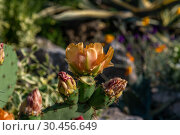 Купить «Opuntia ficus-indica with orange flowers in nature», фото № 30456649, снято 4 июня 2018 г. (c) Володина Ольга / Фотобанк Лори