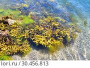 Serrated wrack (Fucus serratus) is a brown alga native to Atlantic Ocean. This photo was taken in Bohuslan cosat, Sweden. Стоковое фото, фотограф J M Barres / age Fotostock / Фотобанк Лори