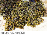 Spiral wrack (Fucus spiralis) is a brown alga native to north Atlantic coasts. This photo was taken in Brittany, France. Стоковое фото, фотограф J M Barres / age Fotostock / Фотобанк Лори
