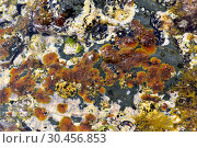 Ralfsia verrucosa is a crustose brown alga. This photo was taken in Cap Ras, Girona province, Catalonia, Spain. Стоковое фото, фотограф J M Barres / age Fotostock / Фотобанк Лори