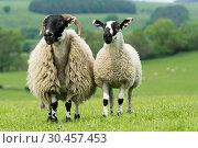 Hexham Blackface ewe with Mule lamb at foot. Стоковое фото, фотограф Farm Images \ UIG / age Fotostock / Фотобанк Лори
