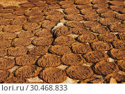 Купить «Cow dung also known as cow pats, cow pies or cow manure drying.», фото № 30468833, снято 9 января 2019 г. (c) age Fotostock / Фотобанк Лори
