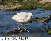 Купить «Small white Heron catches small fish in the water», фото № 30474617, снято 13 февраля 2019 г. (c) Наталья Волкова / Фотобанк Лори