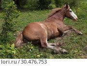 Купить «Chestnut horse lying in a clearing», фото № 30476753, снято 16 июля 2011 г. (c) Наталья Волкова / Фотобанк Лори