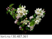 Купить «Blooming apple tree branch isolated on a black background», фото № 30487361, снято 1 мая 2014 г. (c) Ласточкин Евгений / Фотобанк Лори