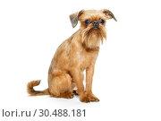 Griffon Bruxelles puppy. Стоковое фото, фотограф Okssi / Фотобанк Лори