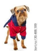 Dog Griffon in a hoodie. Стоковое фото, фотограф Okssi / Фотобанк Лори