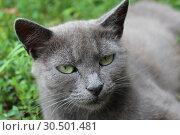 Siamese cat in the green grass. Стоковое фото, фотограф Александр Птах / Фотобанк Лори