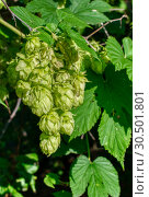 Plant hops. Agricultural plant, the main component in the production of beer. Стоковое фото, фотограф Андрей Радченко / Фотобанк Лори