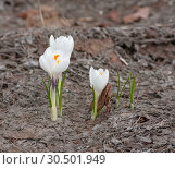 Купить «Белые крокусы и сухой коричневый лист ранней весной», фото № 30501949, снято 5 апреля 2019 г. (c) Наталья Николаева / Фотобанк Лори