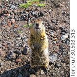 Купить «Standing gopher on the ground, Kamchatka Peninsula Russia», фото № 30503313, снято 24 июля 2009 г. (c) Сергей Майоров / Фотобанк Лори