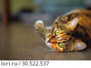 Купить «Portrait of an american shorthair cat lying on its belly.», фото № 30522537, снято 12 октября 2018 г. (c) Акиньшин Владимир / Фотобанк Лори