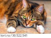 Купить «Portrait of an american shorthair cat lying on its belly.», фото № 30522541, снято 13 октября 2018 г. (c) Акиньшин Владимир / Фотобанк Лори