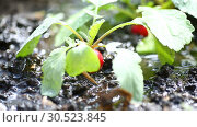 Купить «Ripe red radish growing in the ground is watered», видеоролик № 30523845, снято 9 апреля 2019 г. (c) Peredniankina / Фотобанк Лори