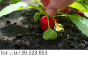 Купить «Hand takes ripe red radish from the ground», видеоролик № 30523853, снято 9 апреля 2019 г. (c) Peredniankina / Фотобанк Лори