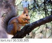Squirrel with nut. Стоковое фото, фотограф Tryapitsyn Sergiy / Фотобанк Лори