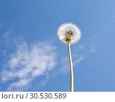 Dandelion. Стоковое фото, фотограф Tryapitsyn Sergiy / Фотобанк Лори