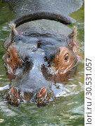 Swimming hippopotamus. Стоковое фото, фотограф Tryapitsyn Sergiy / Фотобанк Лори