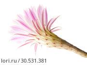 Купить «Cactus flower», фото № 30531381, снято 2 июля 2010 г. (c) Tryapitsyn Sergiy / Фотобанк Лори