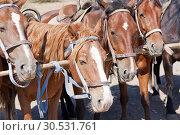 Купить «Brown horses on ranch», фото № 30531761, снято 11 сентября 2010 г. (c) Tryapitsyn Sergiy / Фотобанк Лори