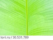 Купить «Lush green palm leaf», фото № 30531789, снято 10 сентября 2010 г. (c) Tryapitsyn Sergiy / Фотобанк Лори