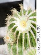 Купить «Cactus with flower», фото № 30531797, снято 10 сентября 2010 г. (c) Tryapitsyn Sergiy / Фотобанк Лори