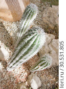 Купить «Green cactuses», фото № 30531805, снято 10 сентября 2010 г. (c) Tryapitsyn Sergiy / Фотобанк Лори