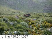 Приэльбрусье. Лошадки в горах. Стоковое фото, фотограф Дмитрий Кондратьев / Фотобанк Лори