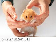 Купить «Close up hamster in the hands of a woman», фото № 30541513, снято 11 апреля 2019 г. (c) Яна Королёва / Фотобанк Лори