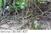 Купить «Tropical tree roots.», фото № 30547437, снято 16 декабря 2013 г. (c) Tryapitsyn Sergiy / Фотобанк Лори