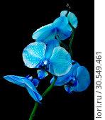 Купить «Blue orchid on a black background», фото № 30549461, снято 10 сентября 2012 г. (c) Ласточкин Евгений / Фотобанк Лори