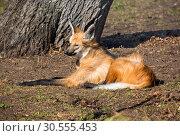 Гривистый волк (maned wolf) Стоковое фото, фотограф Галина Савина / Фотобанк Лори