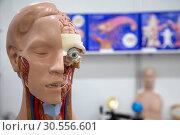 Купить «Анатомический макет головы человека на общеобразовательной выставке», фото № 30556601, снято 12 апреля 2019 г. (c) Николай Винокуров / Фотобанк Лори