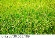 Купить «Rice field in Sri lanka, ceylon paddy plantation», фото № 30565189, снято 21 февраля 2017 г. (c) Tryapitsyn Sergiy / Фотобанк Лори