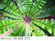 Купить «Peradeniya flower, Ceylon tropical flora closeup», фото № 30565313, снято 22 февраля 2017 г. (c) Tryapitsyn Sergiy / Фотобанк Лори
